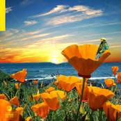 California Poppy 2