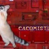 cacomistle