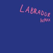 Labrador - Single