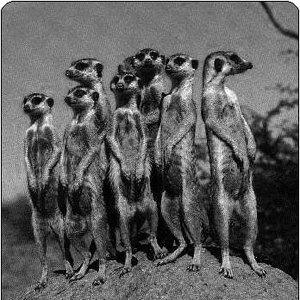 Avatar de Meerkat
