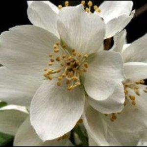 Avatar for Elderflower