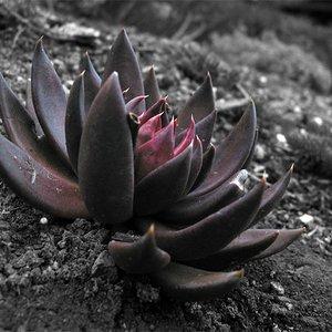 Black Lotus EP