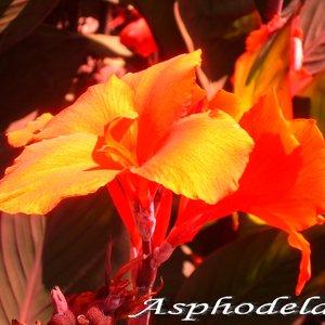 Asphodela