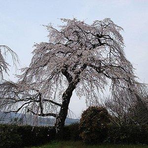 Sakura Sakukoro