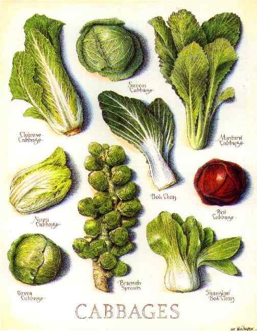 полосой виды капуст и их названия картинки повлияет высокая
