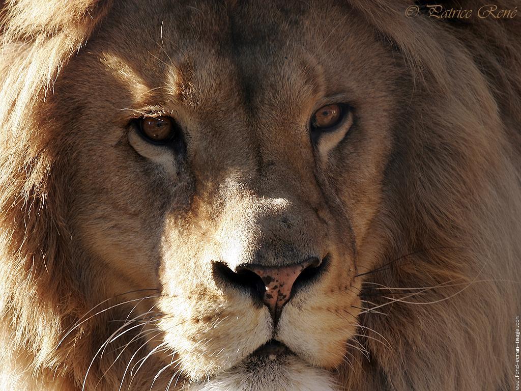 Гифы лев