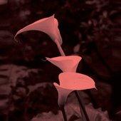 Callopsis