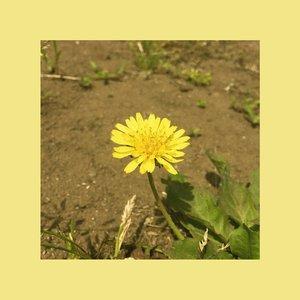 Изображение для 'Dandelion'