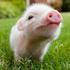 Аватар для petit_cochon